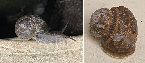 A common garden snail (Cornu aspersum) and an empty shell used for the analysis.